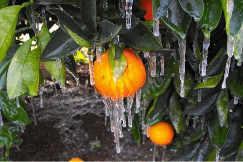orange tree frozen