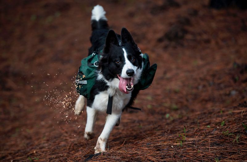 A border collie runs through an area in Chile devastated by fire while sowing tree seeds that fall from a special backpack