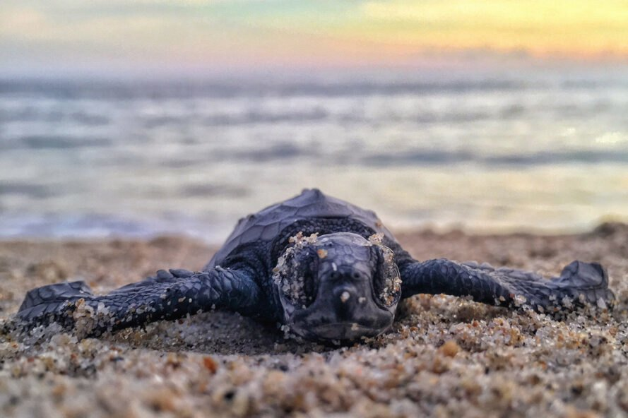 sea turtle hatchling on the beach