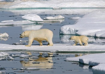 polar bear bering sea ice