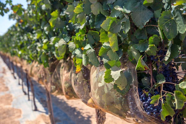 Nets protect the clusters of grapes at an experimental vineyard at the Ramat Negev research center in Israel.