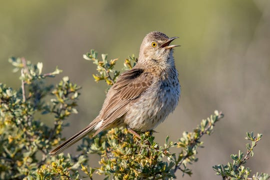 A sage thrasher is one of America's bird species vulnerable to climate change.