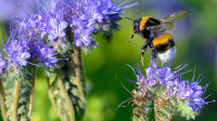 A bumblebee lands on the Flowers of a Phacelia Plant (Credit: Jens Büttner / Picture Alliance via Getty Images) Click to Enlarge.