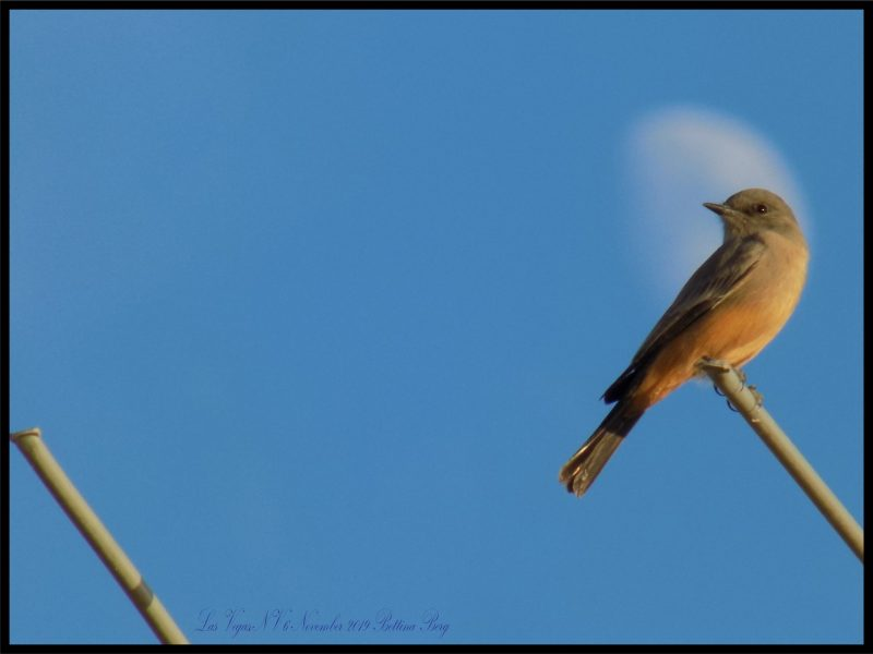 Bird perched on a twig in front of a blue sky and faint while moon.
