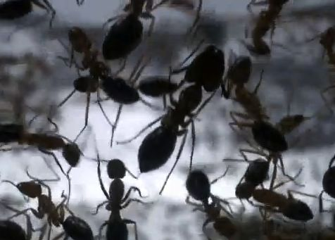 Closeup of a dozen large ants silhouetted against light background.