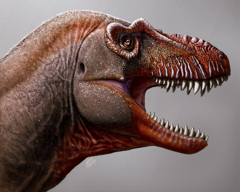 Tyrannosaurus head with mouth open showing pointed teeth.