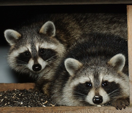 Two small, furry, cute raccoons with rounded ears, black masks across their eyes, and black noses, looking at the camera.