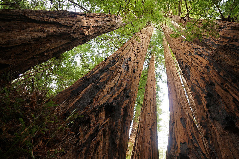 View of five immense living trees looking upward from the ground to the sky.