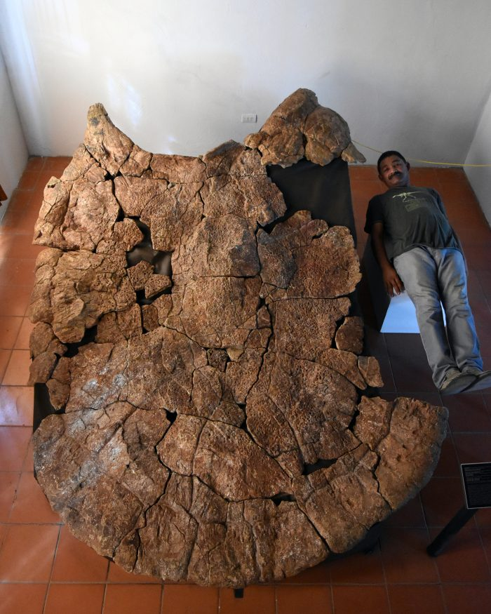 Very large fossil turtle shell with man lying beside it only about two-thirds as long.