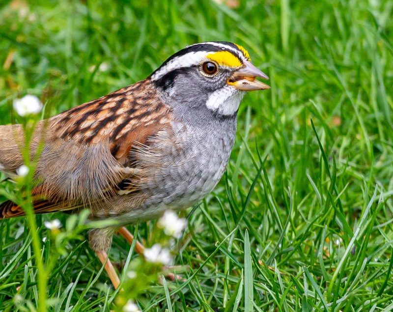 Bird on the grass, brown and gray with black, white, and yellow markings.