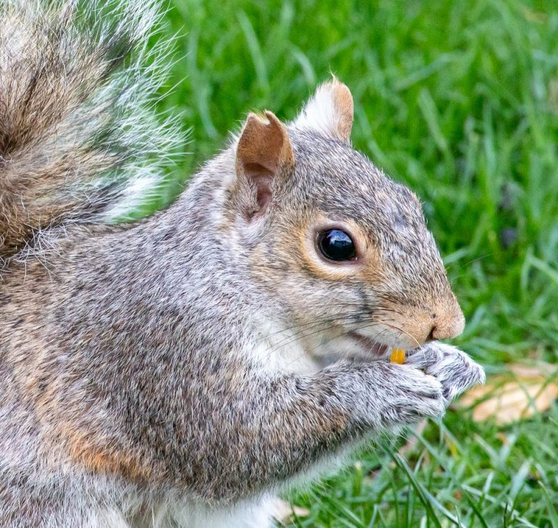 Closeup of squirrel with notched ear eating something.