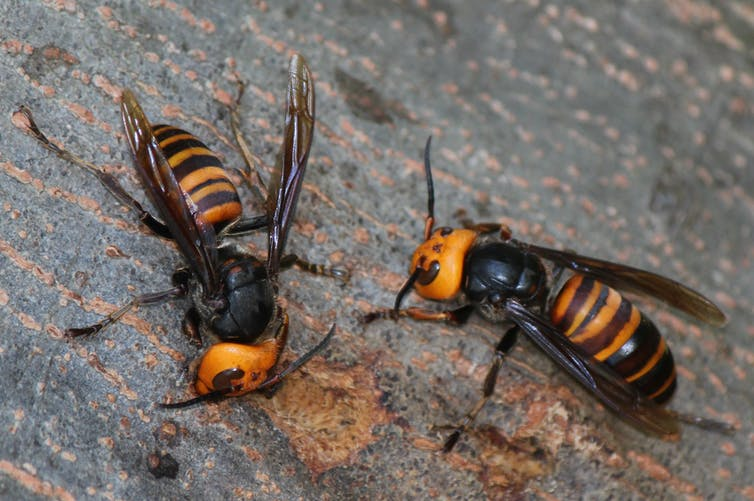 Closeup of two large striped insects with wings.