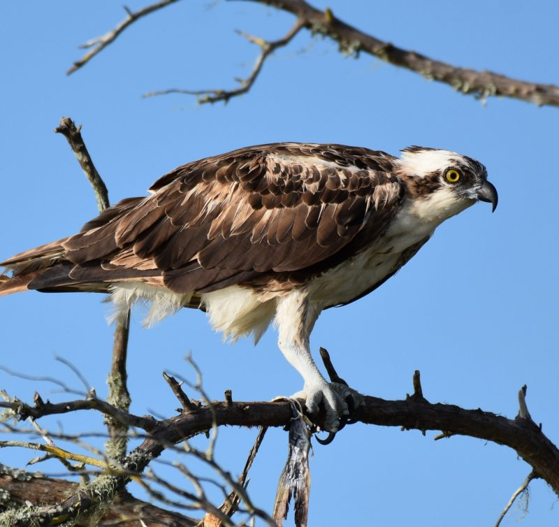 Big bird with strong-looking legs and hooked beak sitting on a branch.