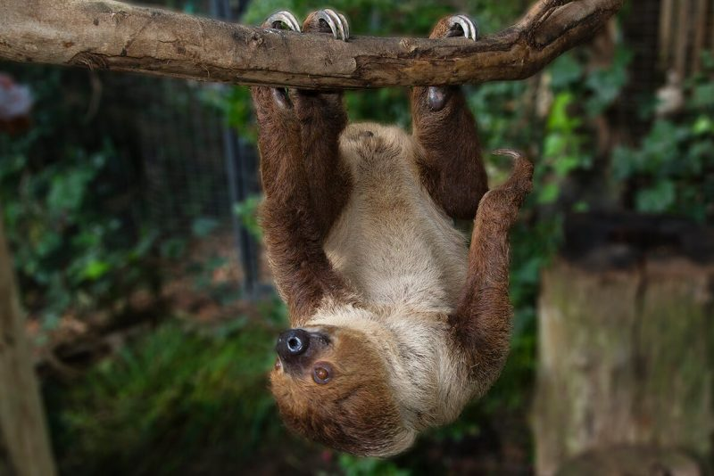 A furry animal suspended belly upward from a branch using big claws to grip it.