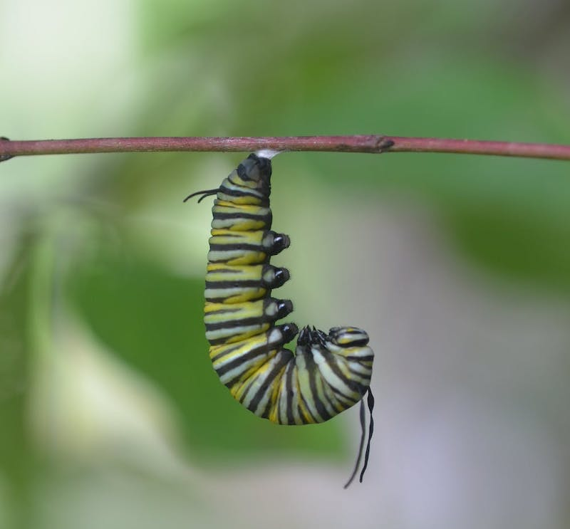 Green, yellow, and black striped hairless caterpillar hanging from a stick.