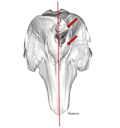 Graphic of a whale skull with a red line running down the center and two red arrows on the right side.
