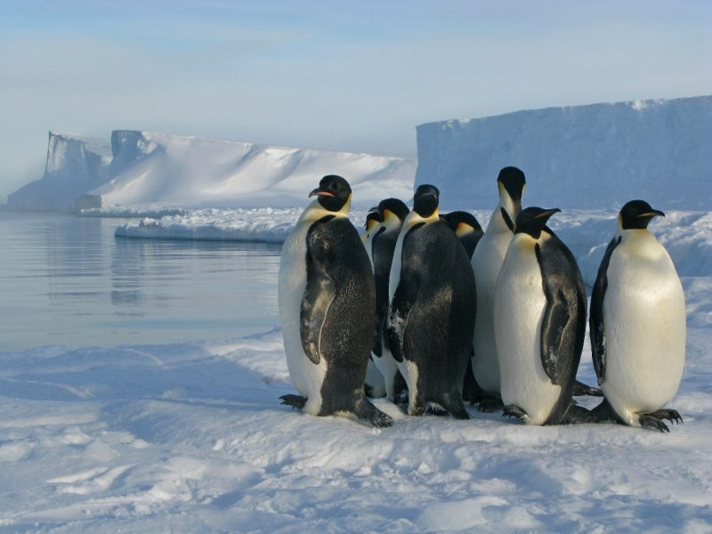 A group of penguins huddled together on the ice near open water, with ice cliffs in background.
