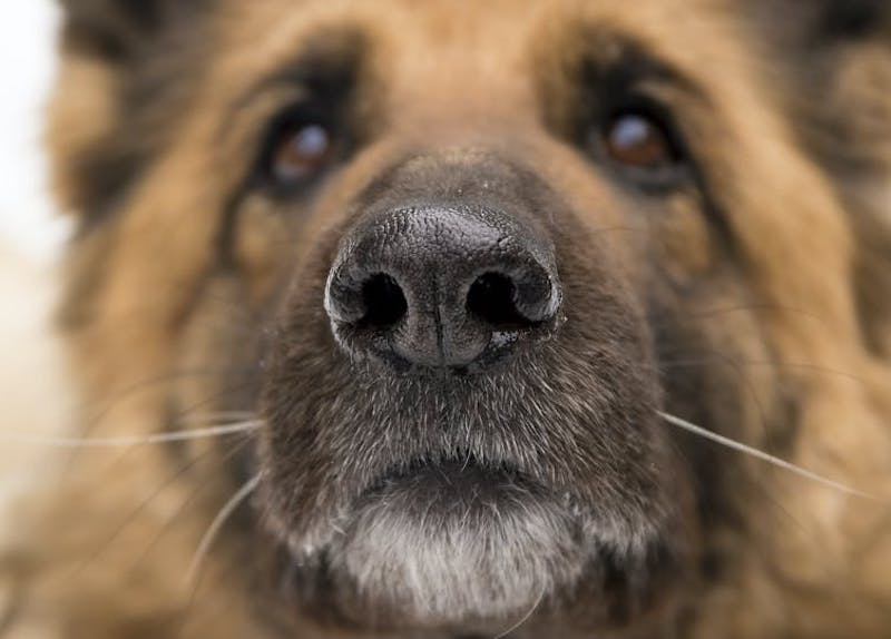 Closeup front view of face of a German shepherd, featuring its shiny black nose.