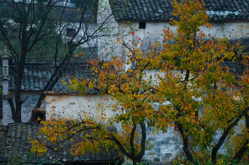 Autumn trees with white buildings with blue-black tile roofs in background.