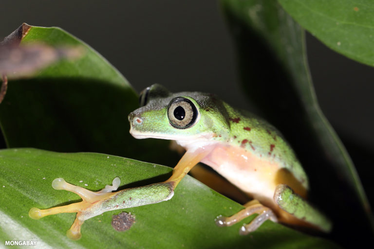 The Lemur leaf frog from Central America is critically endangered. Photo by Rhett A. Butler.