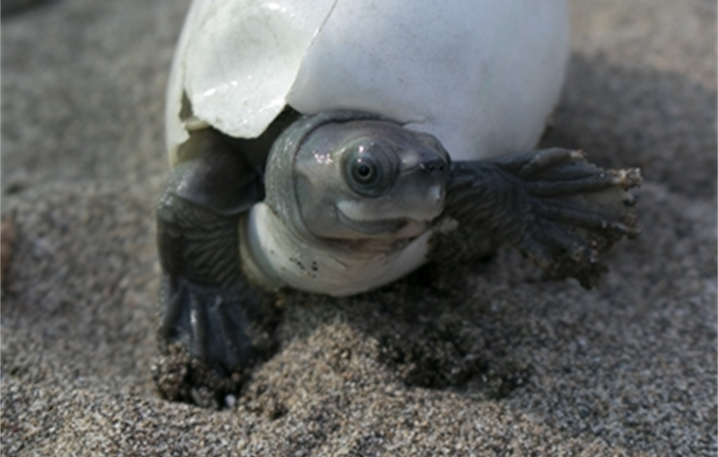 Very small turtle with big eyes crawling out of a split-open egg.