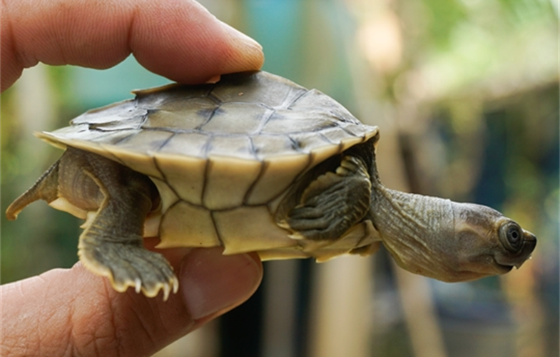 Little 2 or 3-inch hatchling turtle held between someone's finger and thumb.