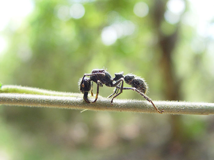 Closeup of big ant with long legs, tiny waist and strong-looking mandibles.