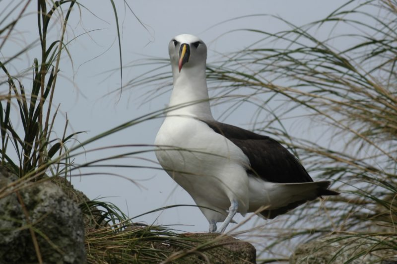 White seabird with black wings and yellow beak standing on a grassy rock.