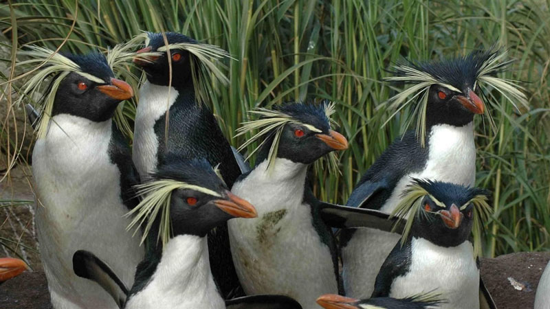 Penguins with grass-blade-like tufts at the sides of their heads, and orange beaks.