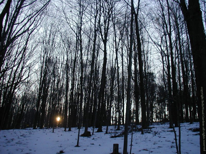 Sun, newly risen, viewed through snowy woods with tall thin bare trees.