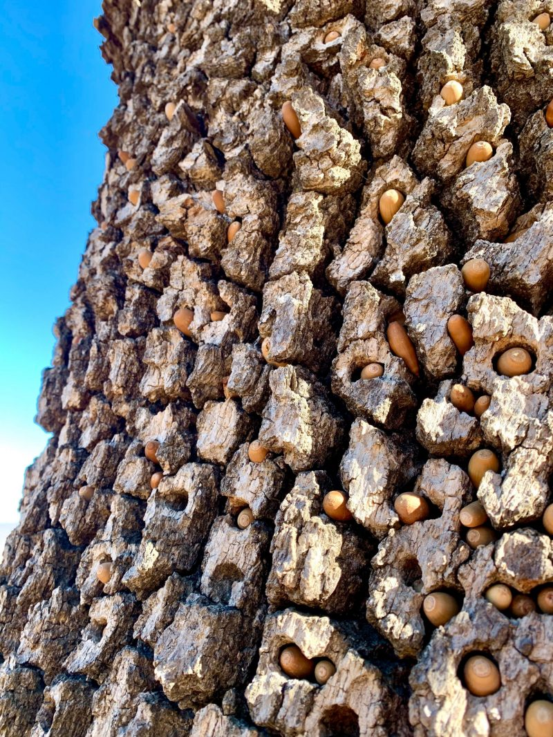 Rough, fissured tree bark, studded with hundreds of acorns in holes.